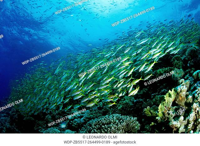 Egypt, Red Sea, Hurghada, school of yellowfin goatfish (Mulloides vanicolensis) on barrier reef