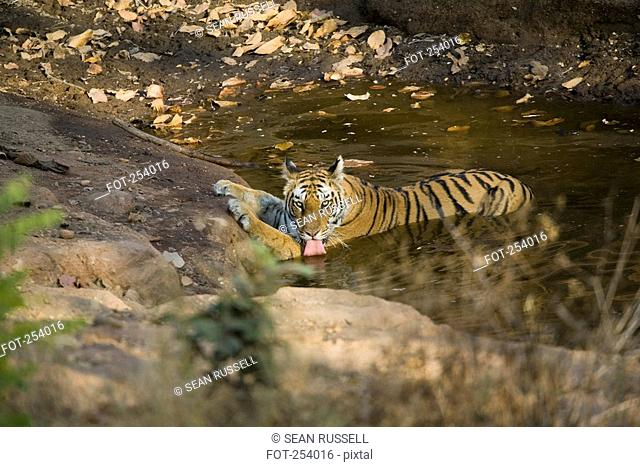 Tiger drinking water from pond