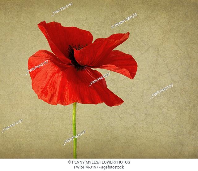 Poppy, Field poppy, Papaver rhoeas, Studio shot of single bright red coloured flower.-