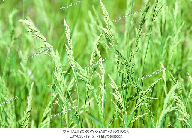 Juicy Green Grass On A Green Background