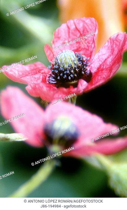 Poppy (Papaver hybridum)