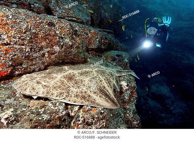 diver and angel shark, Canary Islands / (Squatina squatina)