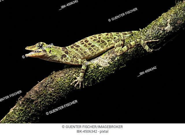 First Anole (Anolis princeps) on branch, Amazon rainforest, Canande River Nature Reserve, Choco forest, Ecuador