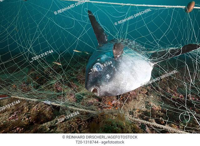 Sunfish trapped in lost Fishing Net, Mola mola, Cap de Creus, Costa Brava, Spain