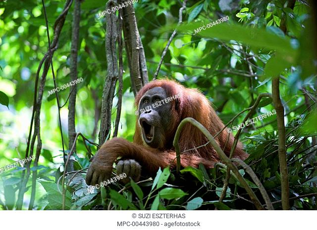 Sumatran Orangutan (Pongo abelii) female in day nest calling, Gunung Leuser National Park, north Sumatra, Indonesia