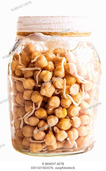 Sprouting Chickpeas Growing in a Glass Jar