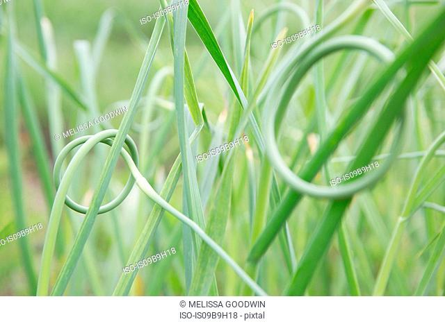 Close up of knotted grass