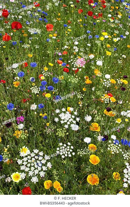 colourful flower meadow with poppy, cornflowers snd Eschscholzia, Germany