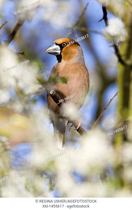 Hawfinch Coccothraustes coccothraustes, perched on blackthorn branch, Lower Saxony, Germany