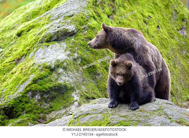European Brown Bear with Cub, Bavarian Forest National Park, Bavaria, Germany, Europe