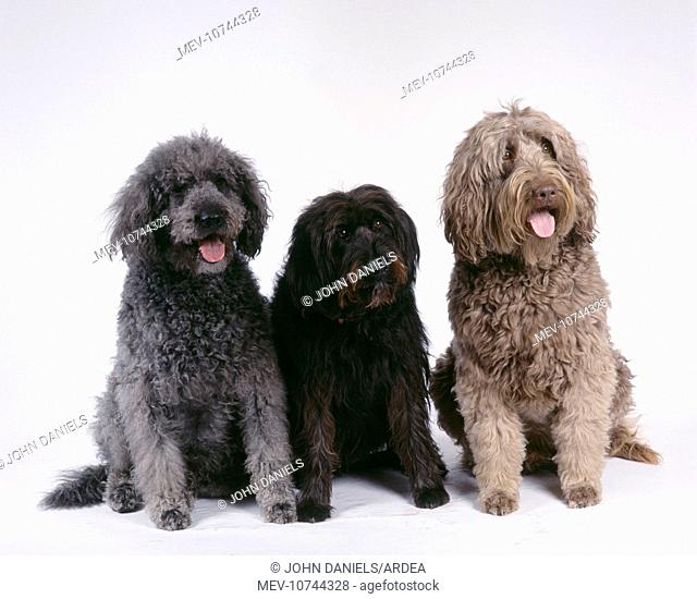Labradoodle DOGS - Three