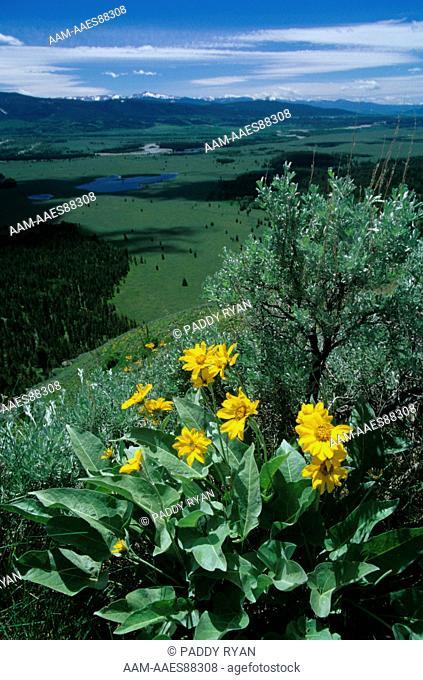 Arrowleaf Balsamroot (Balsamorhiza sagitta), Grand Tetons in background