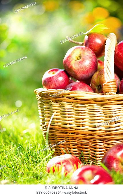 Organic Apples in the Basket. Orchard. Garden