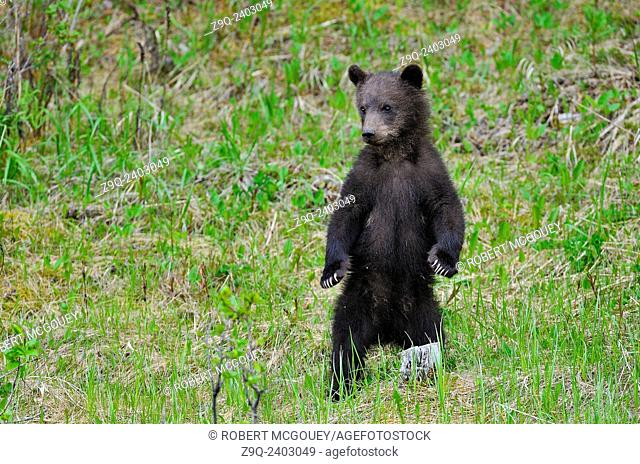 A baby grizzly bear stands on his rear legs to get a better view of his surroundings
