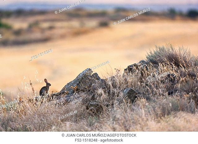 European rabbit or Common rabbit (Oryctolagus cuniculus), Navarre, Spain