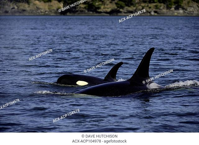 Orca whale photographed at Haro Straight near Georgia Straight,Vancouver Island, BC Canada