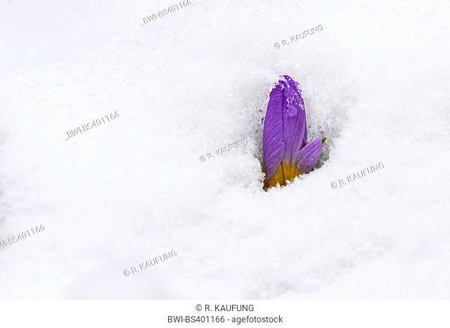crocus (Crocus spec.), bud of a crocus in snow, Germany