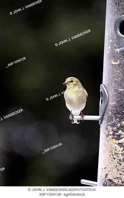 Male American Goldfinch, Carduelis tristis, at bird feeder in winter/spring plummage  The splash of yellow color fortells the full breeding plummage to come...