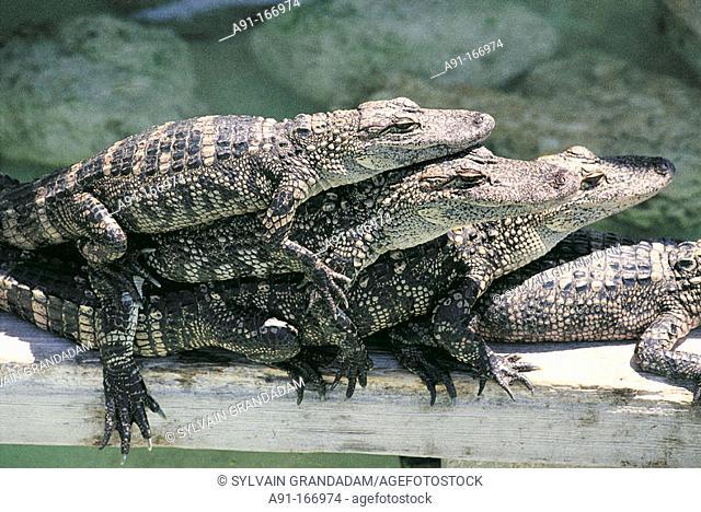 Young alligators at alligator farm. Everglades. Florida. USA