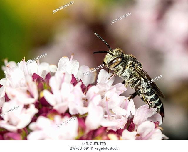 Alfalfa leafcutter bee (Megachile rotundata), Female foraging on Oregano (Origanum vulgare), Germany