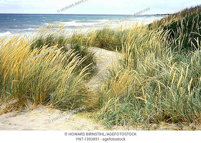 Soft feathery image of seagrass on the sand dunes on a grey blustery day