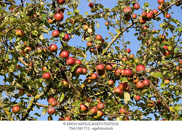 Wild apples on the apple tree