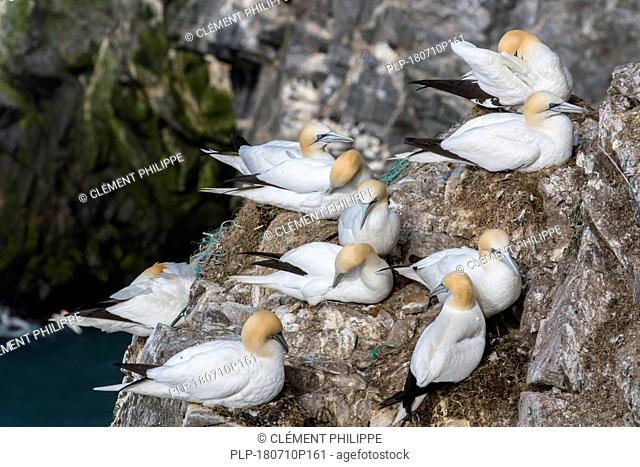 Northern gannets (Morus bassanus) breeding on nests made with parts of nylon fishing nets and ropes in sea cliff at seabird colony in spring