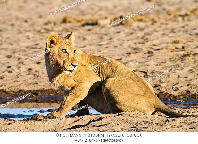 Lioness (Panthera leo) at a waterhole in Botswana, Africa