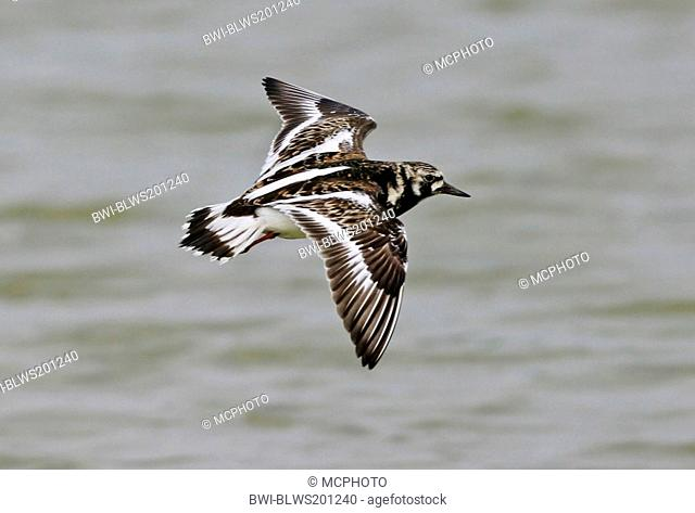 ruddy turnstone Arenaria interpres, flying at the sea, Netherlands, Texel