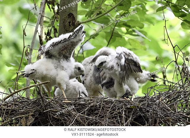 Sparrowhawks / Sperber ( Accipiter nisus ), young chicks, training flight skills, flailing, fluttering wings, wildlife, Germany