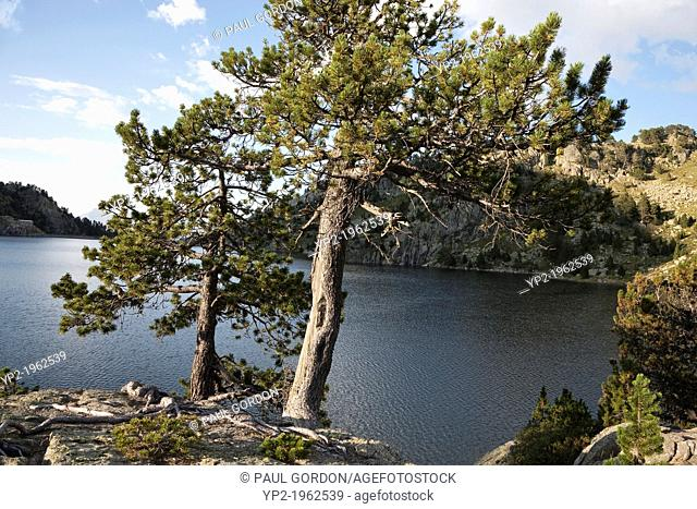 Pine trees on Estany Major de Colomers in Aigüestortes i Estany de Sant Maurici National Park - Lleida, Cataolina, Spain
