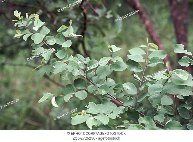 Leaves. Securinega sp. Family: Euphorbiaceae. A large shrub found in deciduous forests. The leaves are used as fodder for goats