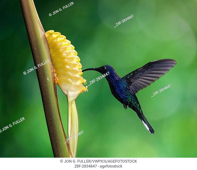 The Violet Sabrewing Hummingbird, Campylopterus hemileucurus, is a very large hummingbird native to southern Mexico and Central America as far south as Costa...