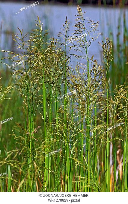 Glyceria maxima, Reed Mannagrass