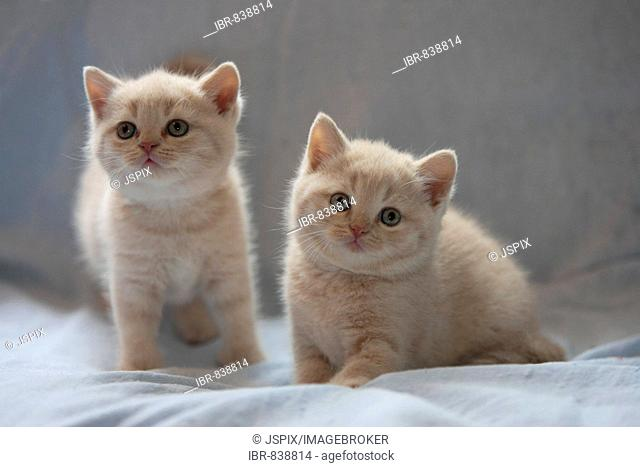 Kittens, Casrthusian (Silvestris domestic spec.)