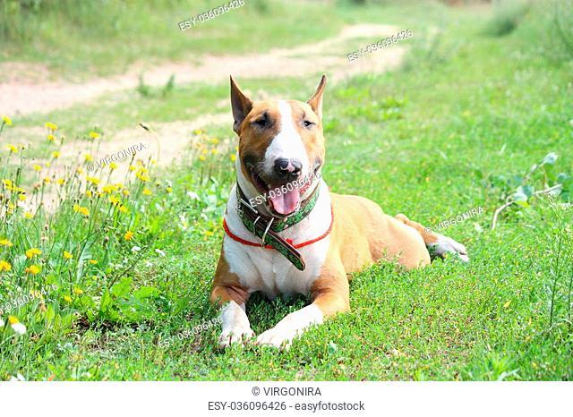 Friendly English bull terrier resting on grass