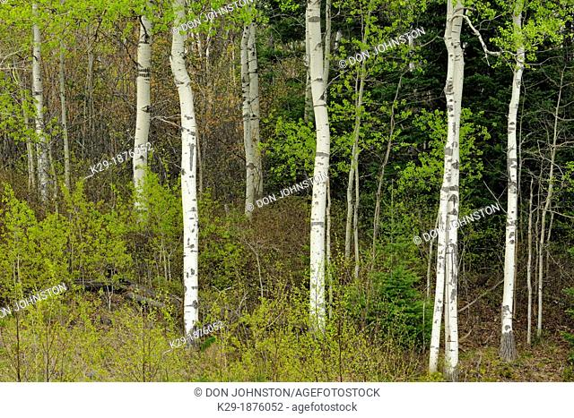 A woodland of aspen, with emerging spring leaves in the understory, Greater Sudbury Lively, Ontario, Canada