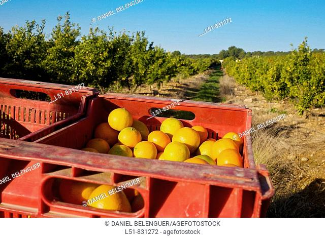 Harvest of mandarinas, Liria, Valencia, Comunidad Valenciana, Spain, Europe