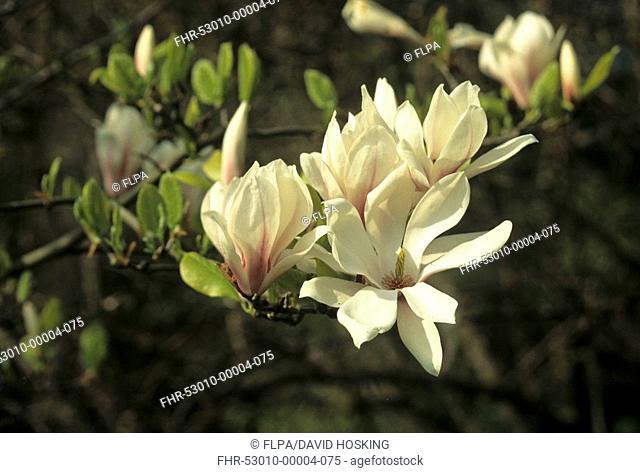 Saucer Magnolia Magnolia x soulangiana flower