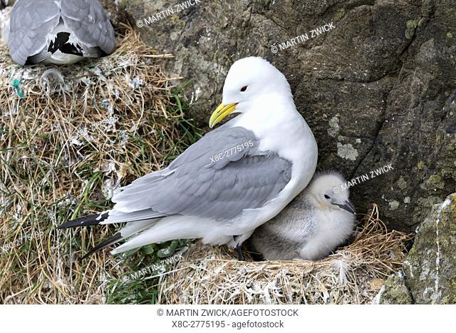 Black-legged kittiwake (Rissa tridactyla), colony in the cliffs of the island Mykines, part of the Faroe Islands in the North Atlantic