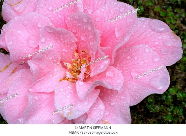 Raindrops on blossom of Camellia, Trewidden Garden, at Penzance, Cornwall, England, UK