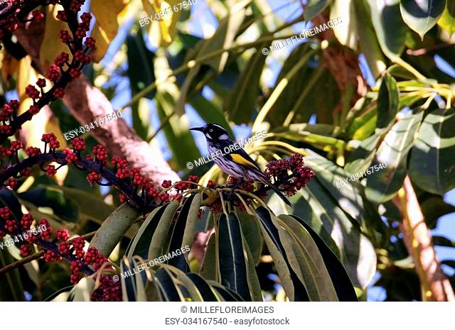 Australian yellow and black Honeyeater bird in Umbrella Plant Tree eating red berries fruit in Autumn, taken in Adelaide, South Australia