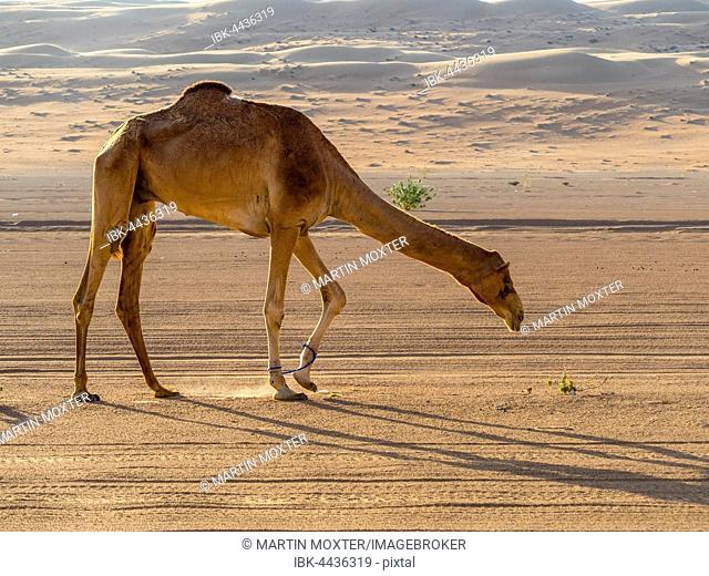 Arabian camel or dromedary (Camelus dromedarius), sand dunes, desert, Sharqiya Sands or Wahiba Sands, Al Raka, Oman