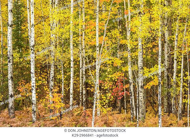Autumn woodland, near Espanola, Ontario, Canada