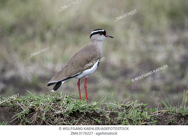 A crowned lapwing (Vanellus coronatus), or crowned plover in the grasslands of the Masai Mara National Reserve in Kenya