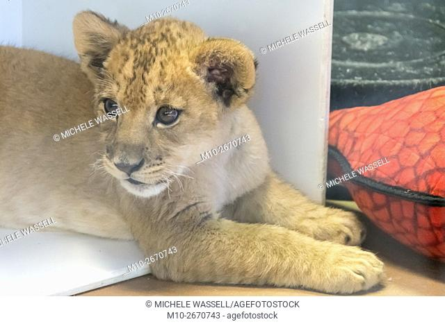 A two month old lion cub watching something intensely in North America, USA