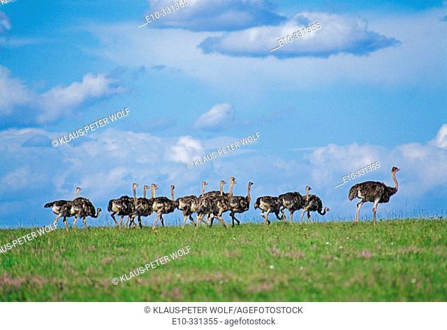 Ostrich (Struthio camelus). Kenya
