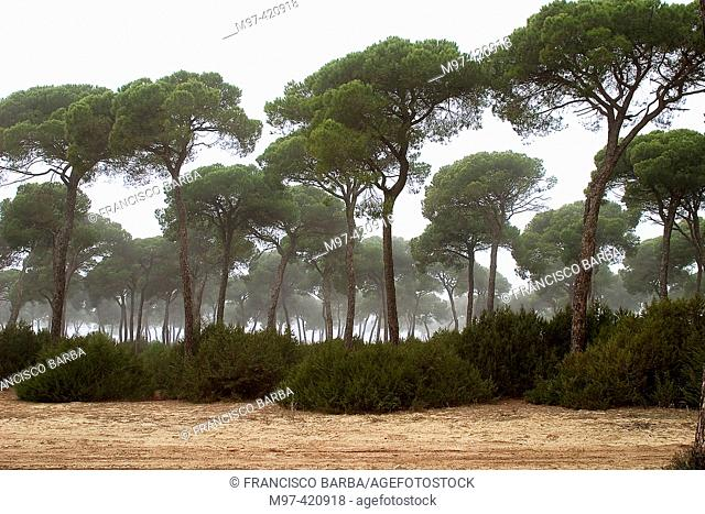 Stone Pine (Pinus pinea) in fog, Doñana National Park. Sanlúcar de Barrameda, Cádiz province. Andalusia, Spain