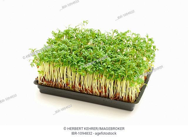 Garden cress in a tray
