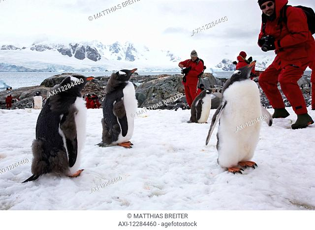 Gentoo Penguins (Pygoscelis papua) and tourists on Petermann Island, Antarctic Peninsula; Antarctica